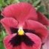 The Pink Pansy